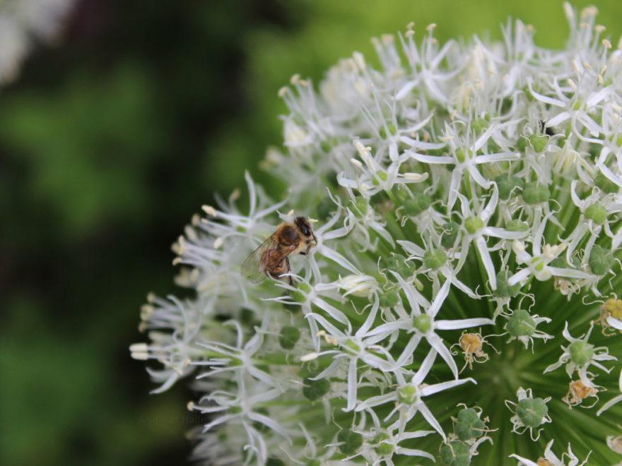 Biene auf Alium